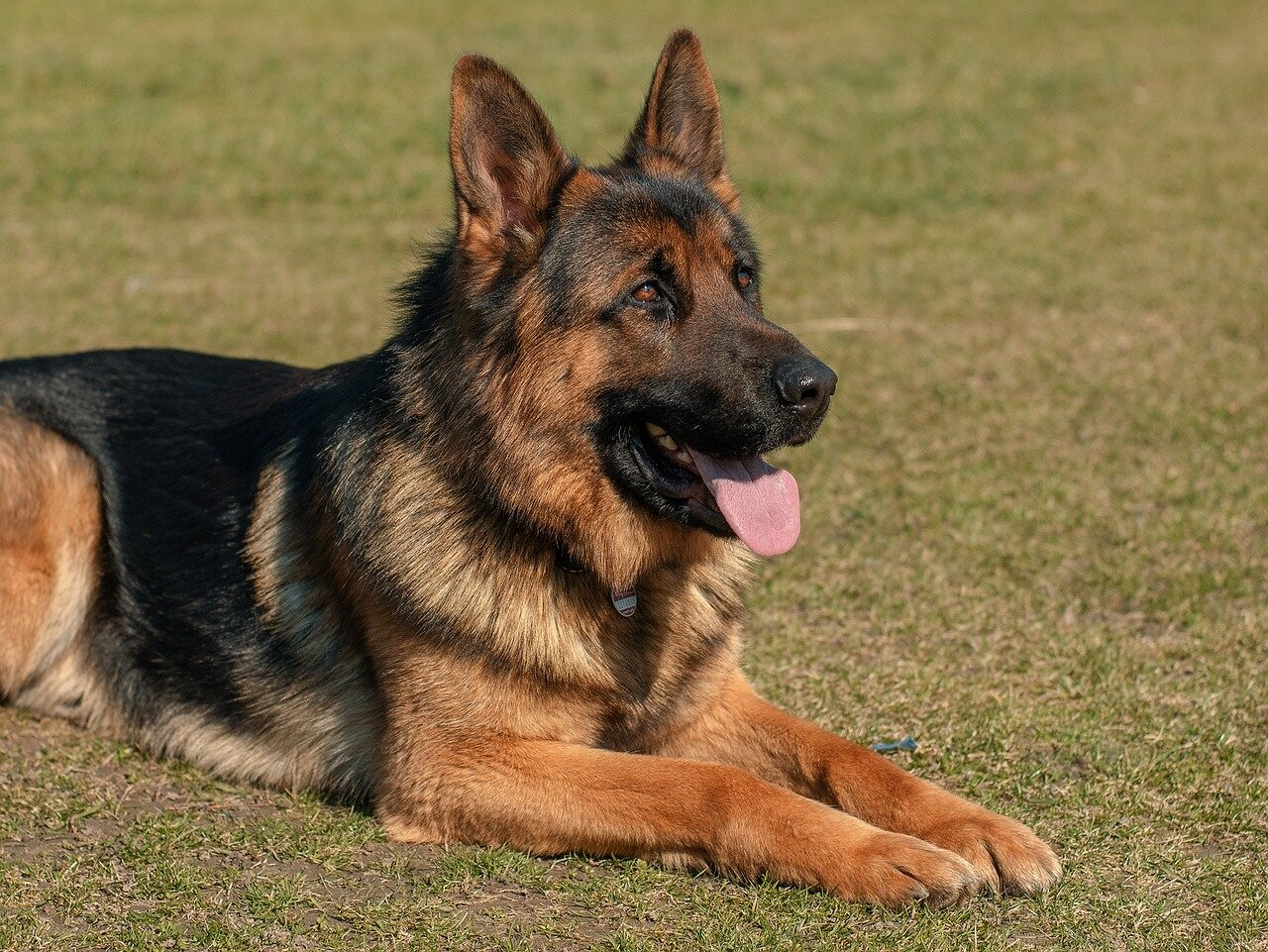 Home Remedy for a Dull Coat on a German Shepherd