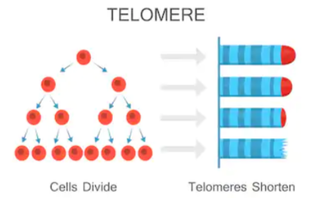 Statin Drugs' Effect on Telomeres & Aging
