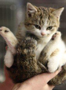 Kitten pain in anus