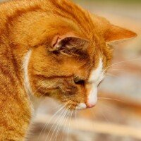 Black Gums in an Old Cat: May Be Normal but Can Be Cancer